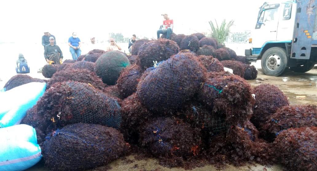 Gelidium, Gracilaria, Gigartina, and Laminaria Supplier and Exporter in Morocco